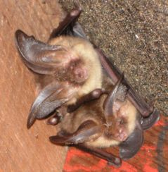 Brown Longeared bats